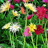 Burpee California Mixed Colors Gerbera Seeds 25 seeds