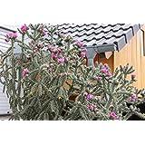 Kakteengarten 3 Pflanzen winterharte Cylindroopuntia im 9cm Topf