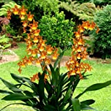 "ONCOSTELE CATATANTE 'KILAUEA KARMA' Orchid Plant Shipped in 3"" Pot"