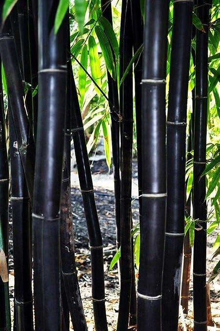 Rare Fresh Black Bamboo Seeds Phyllostachys Nigra 100pcs Ships From Usa Plants, Seeds & Bulbs