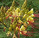 20pcs Caesalpinia Gilliesii Yellow Bird of Paradise Seeds Low Maintenance Tropical