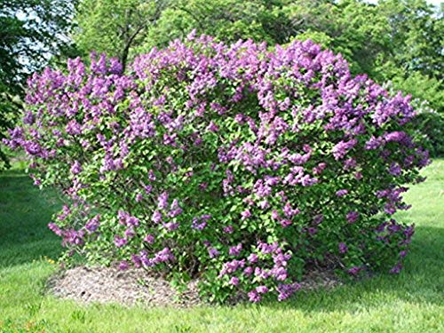 3 Plants in 3.5 Pots Common Lilac Flowering Shrub Live Healthy Established by iniloplant (Image #1)