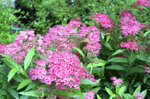 (Liner) Spirea Magic Carpet, Wonderful Dwarf, Compact, Dense Shrub with Clusters of Gorgeous Hot Pink Blooms, Showy Foliage. Liner Size Plant Shipped in Plastic Bag or 3