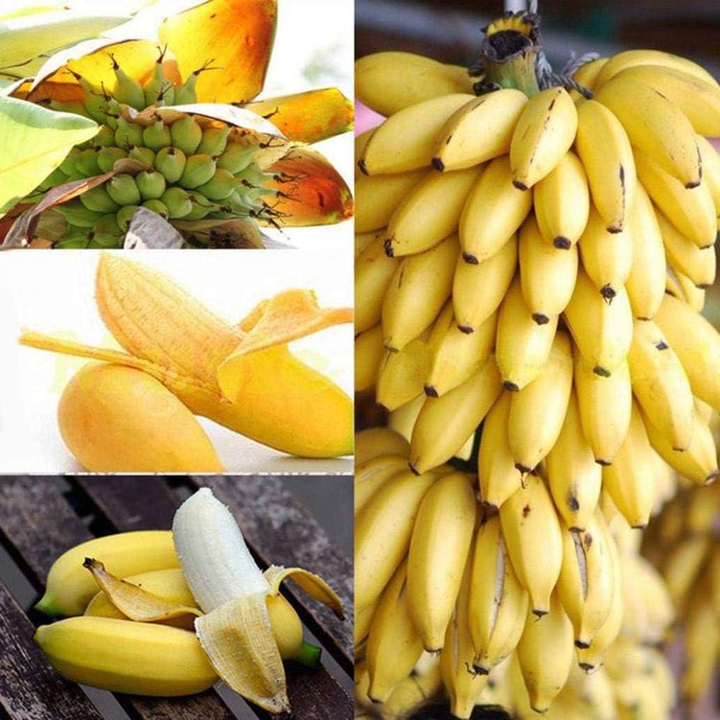 Uticon 50pcs Dwarf Semillas Pl¨¢Tano Mini ¨¢Rbol Bonsai Fruit Inicio Jard¨ªN Planta Oficina Decoraci¨®N - Semillas De Pl¨¢Tano