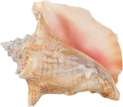 Amazon Com Conch Shell Garden Quality 6 8 Imperfect Conch Sea