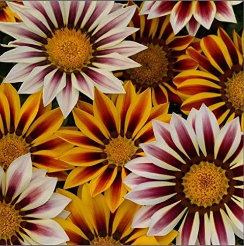 Flower Kings Seeds Picture Packet Gazania New Day Tigers Stripes 25 Seed