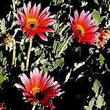 100 Seeds arctotis Grande Harlequin Flower Mix/Garden Plant Flower