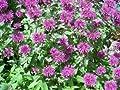 2000 BEE BALM LEMON MINT Monarda Citriodora HERB Flower Seeds