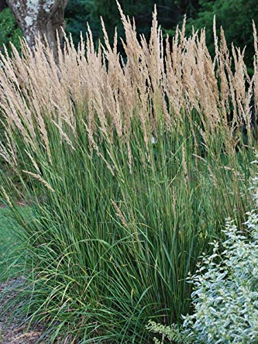 Perennial Farm Marketplace Calamagrostis a. 'Karl Foerster' ((Feather Reed) Ornamental Grasses, Size-#1 Container, Yellow Spikes