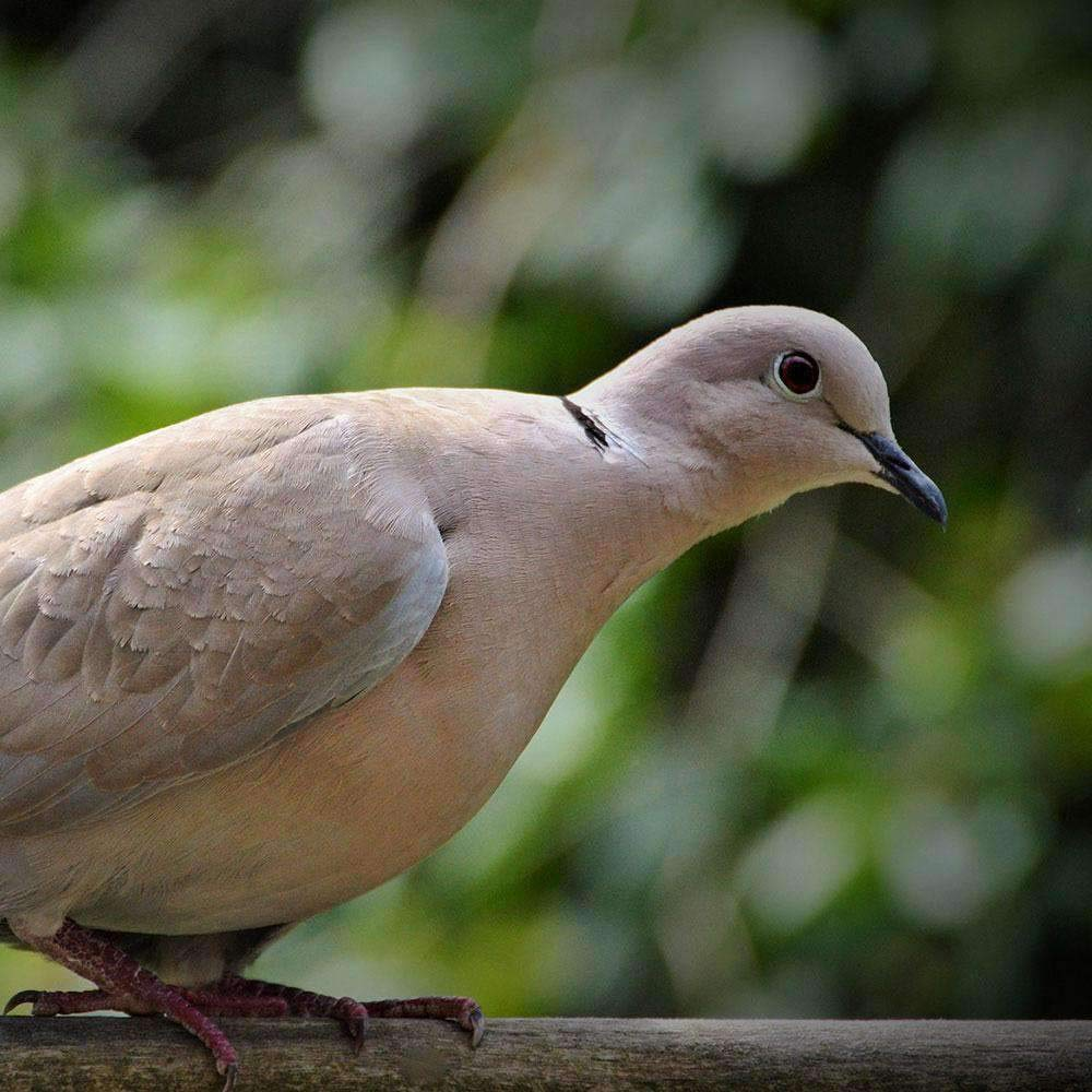 Hancock's Dove Field Seed Mix