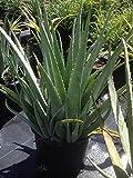 PlantVine Aloe Vera, Medicinal Aloe - Large - 8-10 Inch Pot (3 Gallon), Live Plant - 4 Pack