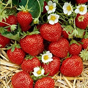 10 Ozark Beauty Everbearer Strawberry Plants (Pack of 10 Bare Root Plants for $9.95+6.49 shipping) TOP PRODUCER - UNMATCHED FOR TASTE! Best grown in Zone 4-9. Organic grown in USA.