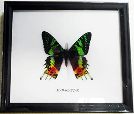 Amazon.com : FRAMED BEAUTIFUL REAL MADAGASCAR BUTTERFLY DISPLAY ...