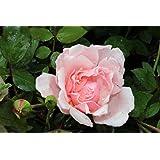 Ramblerrose Albertine - Kräftig entwickelte Pflanze im 6lt-Topf