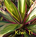 ~KIWI~ TI PLANT Cordyline terminalis COLORFUL Hawaiian Foliage sml pot'd Plant