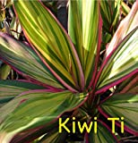 ~KIWI~ TI PLANT Cordyline terminalis COLORFUL Hawaiian Foliage sml pot'd Plant