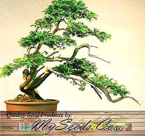 ScoutSeed (30) Hinoki Cypress, Chamaecyparis Obtusa Seeds ...