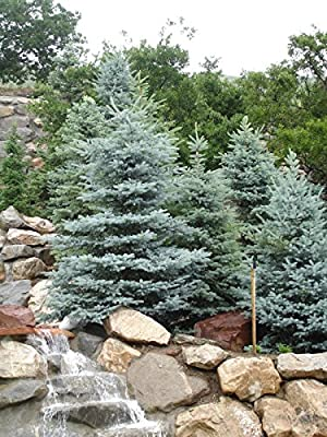 5 Colorado Blue Spruce Tree Seeds