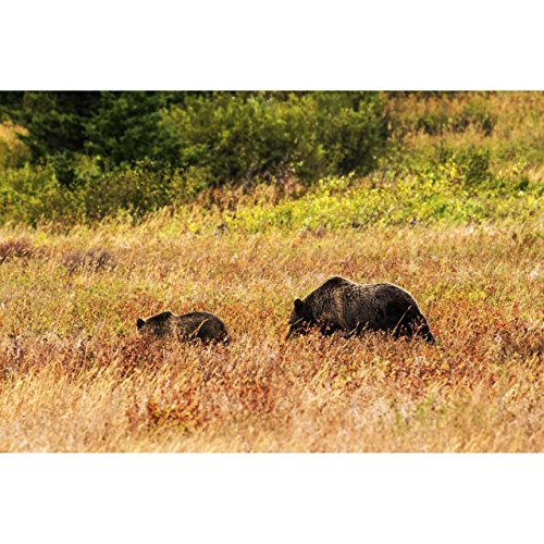 - Montana Photo, Glacier National Park Bears by TravLin Photography, Multiple Sizes (5x7 to 24x36)