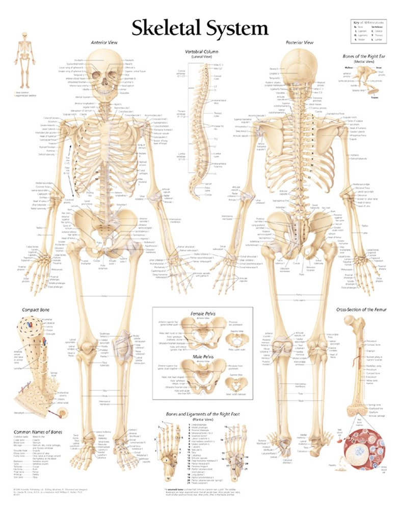 Buy Skeletal System Paper Poster Book Online At Low Prices In India