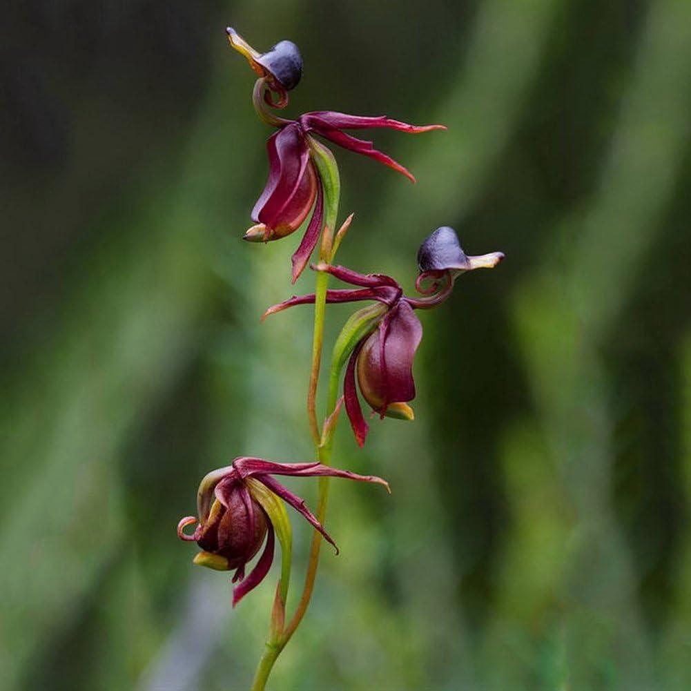 lamta1k 10 Piezas Rare Flying Duck Orchid Semillas de Flores Flor en Maceta Calidad de la Planta y Alto índice de Supervivencia Decoración de jardín - Flying Duck Orchid Seeds