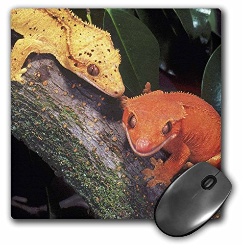 3dRose LLC 8 x 8 x 0.25 New Caledonia Crested Geckos Lizard David Northcott Mouse Pad (mp_83859_1)