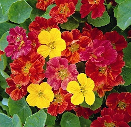 - Nasturtium Jewel Mix 25 seeds