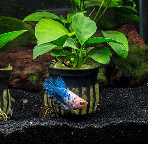 Aquatic Arts 3 Potted Dwarf Anubias nana - Live Aquarium Plant with Large Leaves by by Aquatic Arts (Image #2)