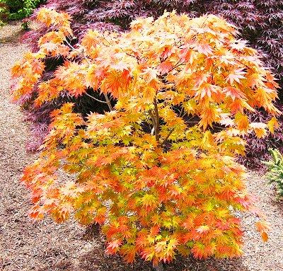 Autumn Moon Japanese Maple, 3 Gal. 2.5 - 3 feet