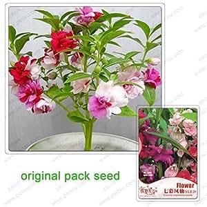 70 semillas / paquete, impatiens colorido de los gérmenes, balcón jardín de plantas en maceta flores verdes impatiens multicolor