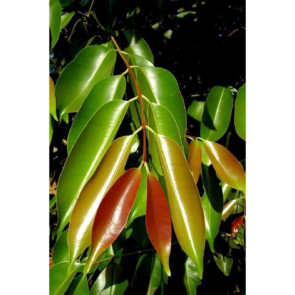 Syzygium Cumini Jambul Fruit Tree Live Large Sz Plant V6 by iniloplant (Image #3)