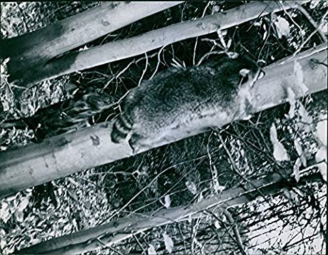 Vintage photo of Year ?Raccoon seeks safety in tree. The