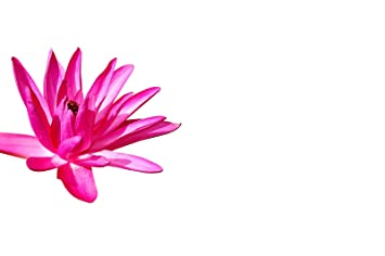 """10 semillas nenúfar rojo """"Nymphaea"""" (para estanque y acuario) + instrucciones"""