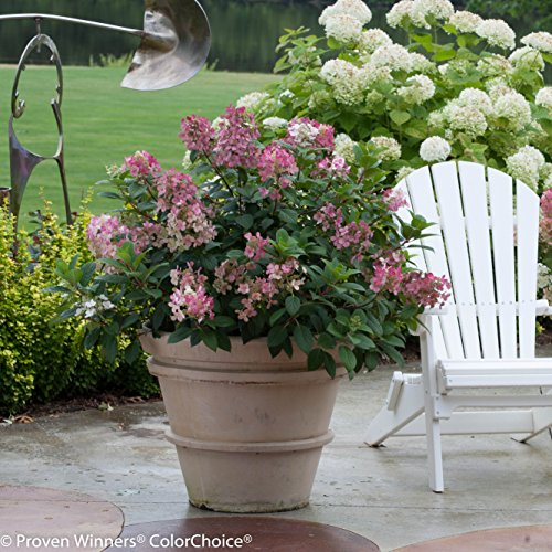 Little Quick Fire Hardy Hydrangea (Paniculata) Live Shrub, White to Pink Flowers, 1 Gallon by Proven Winners (Image #5)
