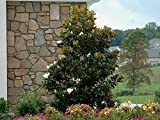 Little Gem Southern Magnolia Tree - Live Plant - Quart Pot