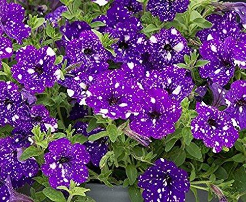 (Seeds Market Rare Petunia Blue Sky Petunia Seeds, 200 Seeds, Professional Pack, annual blue petals with white spot)