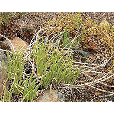 Cheap Fresh Dudleya Edulis Unusual Succulent Seeds Get 5 Seeds Easy Grow #GRG01YN : Garden & Outdoor