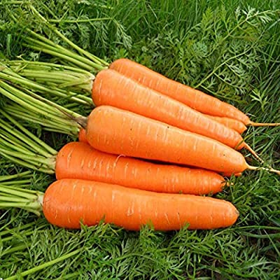 Organic Red Carrot Seeds Extra Sweet Heirloom Vegetable Seeds Non GMO Seeds for Home Garden Planting : Garden & Outdoor
