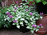 Purple Dragon Lamium Set of 3 Pots Groundcover Plants