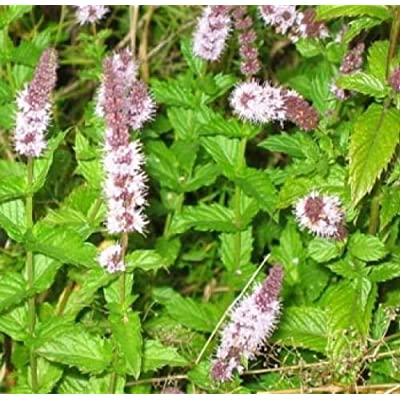 SPEARMINT 150+ FRESH SEEDS : Garden & Outdoor