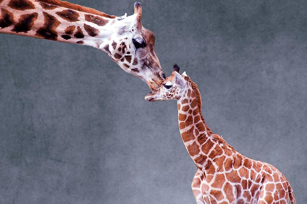 Giraffe and Calf 36 x 54 Giclee Print LANT-51679-36x54 36 x 54 Giclee Print  B017E9U374