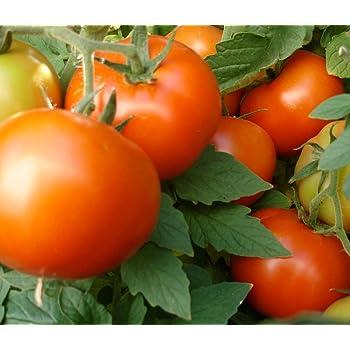 Amazon.com : Celebrity Tomato 45 Seeds -Disease Resistant