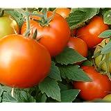 Bush Early Girl Hybrid Tomato 150 Seeds #1884 Item Upc#650348692148