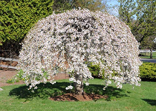 ((5 Gallon Bare-Root) Weeping Yoshino Cherry Tree is a Gorgeous Photogenic Flowering Tree That Breaks Out in a Cascade of Shimmering White or Pale Pink Blossoms in Early Spring.)