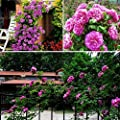100PCS Climbing Rose Seeds Rosa Multiflora Perennial Fragrant Flower New Purple