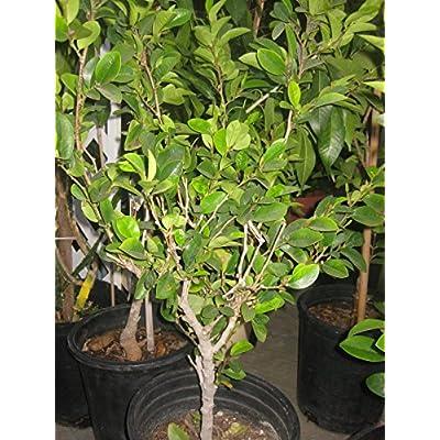 9EzTropical - Banana Shrub - Michelia figo- HOA Hàm Ti?u - 2 Feet Tall - Ship in 1 Gal Pot : Garden & Outdoor