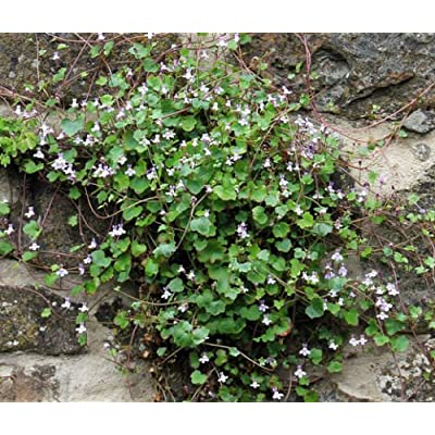 Kenilworth Ivy Cymbalaria Muralis - 500 Bulk Seeds : Garden & Outdoor