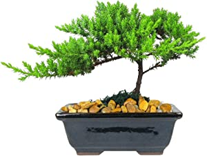 Eve's Garden Japanese Juniper Bonsai Tree, 6 Years Old Japanese Juniper, Planted in 6 Inch Ceramic Container, Outdoor Bonsai