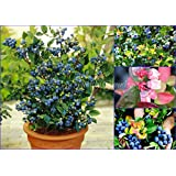 "SEEDS - Dwarf Blueberry ""Jelly Bean"" (Vaccinium x) Compact Hardy Self-fertile Bush! SHIPS FROM CANADA!"