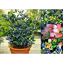 """SEEDS - Dwarf Blueberry """"Jelly Bean"""" (Vaccinium x) Compact Hardy Self-fertile Bush! SHIPS FROM CANADA!"""